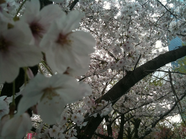Yoshino Blossoms in Osaka Castle Park