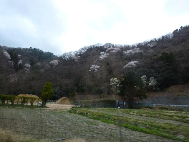 yamazakura_06